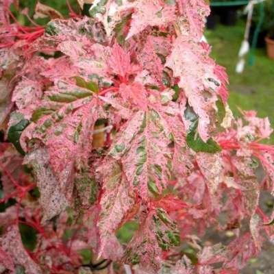 Acer conspicuum 'Red Flamingo',175-200 20L pot