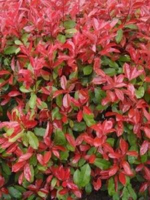 Photinia fras. 'Carré Rouge', 80-+cm Glansmispel