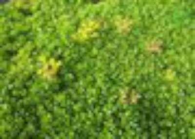Sedum hybridum 'Immergruenchen', Vetkruid