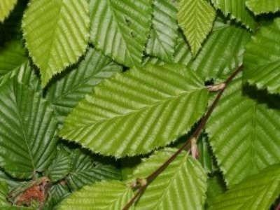 Carpinus betulus, Haagbeuk, bosplantgoed, 1+2 80/100