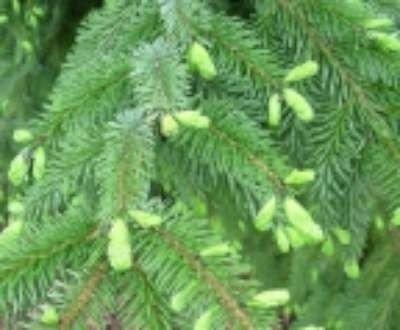 Picea omomorika, Servische spar, 2+1 20/30