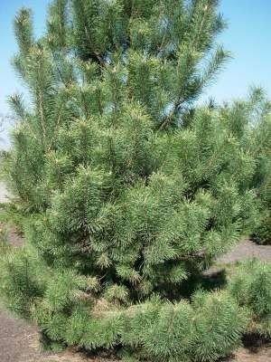 Pinus sylvestris, Grove den, 1+1 25/40