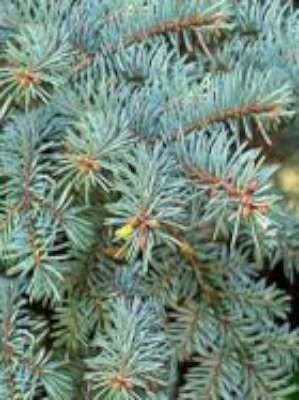 Picea pungens 'Glauca', Blauwspar, 2+2 20/40