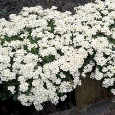 Arabis caucasica 'Little Treasure White', Rijstebrij, Randjesbloem