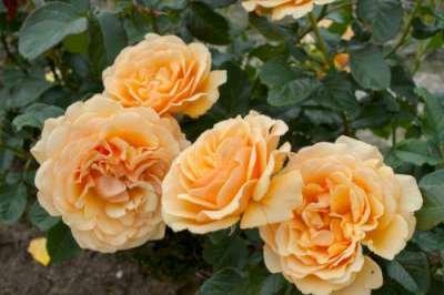 Rosa 'Amber Queen', Trosrozen
