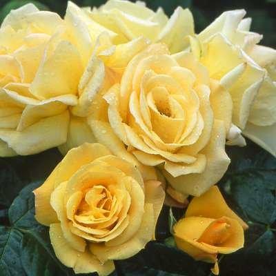 Rosa 'Arthur Bell', Trosrozen