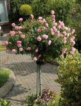 Rosa 'Bonica', Stamrozen
