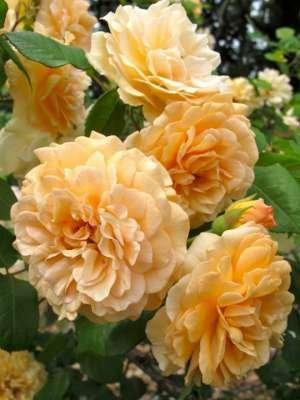 Rosa 'Buff Beauty', Trosrozen