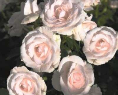 Rosa 'Aspirin Rose', Trosrozen