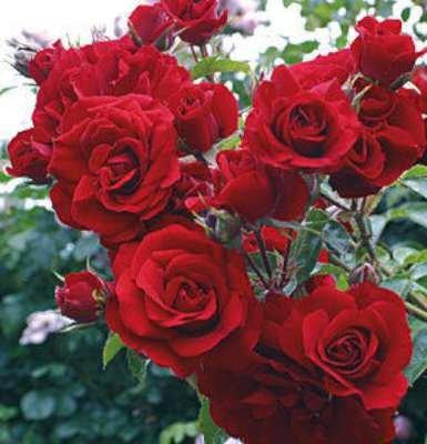 Rosa 'Amadeus', Trosrozen