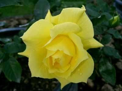 Rosa 'Anthony Meilland', Trosrozen