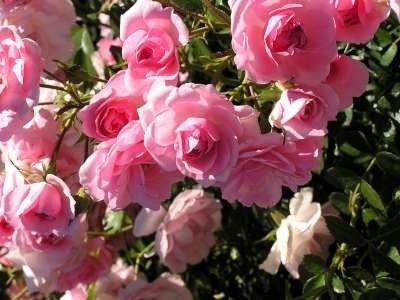 Rosa 'Bonica', Trosrozen