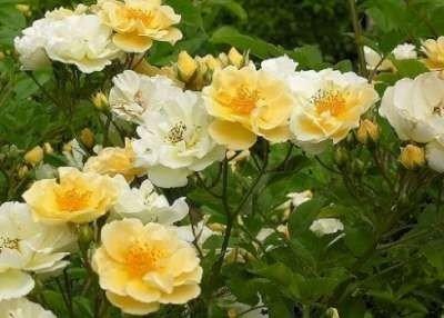 Rosa 'Golden Showers', Klimrozen