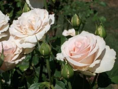Rosa 'Johann Strauss', rozen