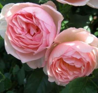 Rosa 'Heritage', rozen