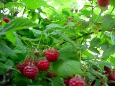Rubus idaeus, Framboos
