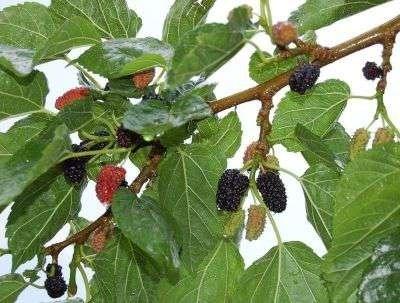 Morus nigra, 5L pot Zwarte moerbei, HALFSTAM