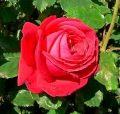 Rosa 'Dame de Coeur', Grootbloemige struikrozen