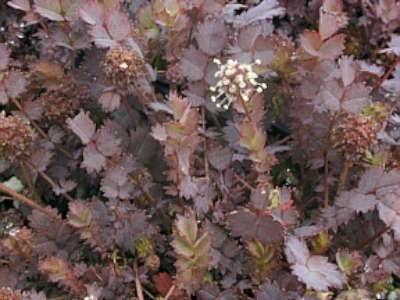 Acaena inermis 'Purpurea', Stekelnootje