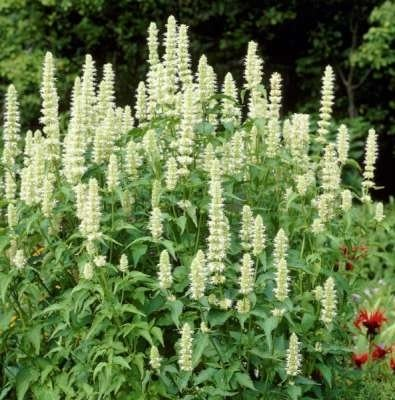 Agastache rugosa 'Alabaster', Anijsplant, Dropplant