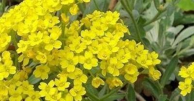 Alyssum montanum 'Berggold', Schildzaad