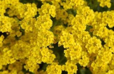 Alyssum saxatile 'Compactum', Schildzaad