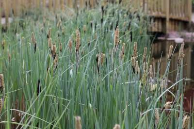 Carex acutiformis, Zegge