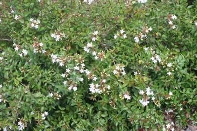 Abelia grandiflora 'Prostrata' 40-50