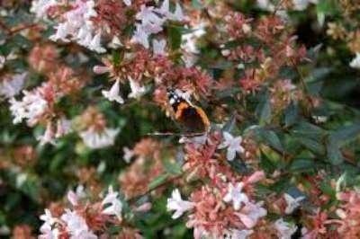 Abelia grandiflora 40-60
