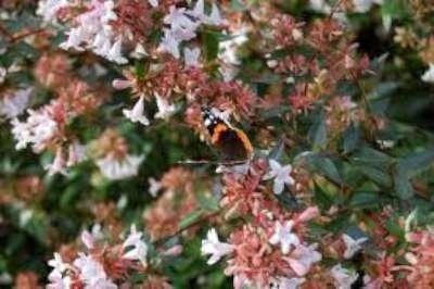 Abelia grandiflora 50-60