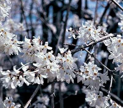 Abeliophyllum distichum 30-40
