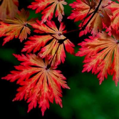 Acer japonicum 'Aconitifolium', 40-50