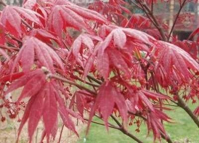 Acer palm. 'Atropurpureum' 100-125, Japanse esdoorn