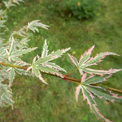 Acer palmatum 'Butterfly', 40-60