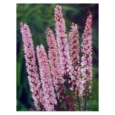 Actaea simplex 'Pink Spike', Zilverkaars