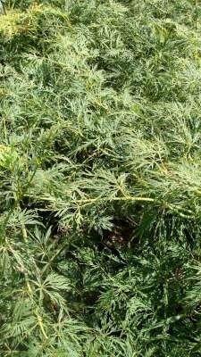 Acer palmatum 'Dissectum' 40-50, Japanse esdoorn 3L