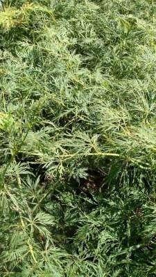 Acer palmatum 'Dissectum' 50-60, Japanse esdoorn 7.5L