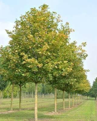 Acer camp. 'Huibers Elegant', 14/16 Draadkluit, Veldesdoorn