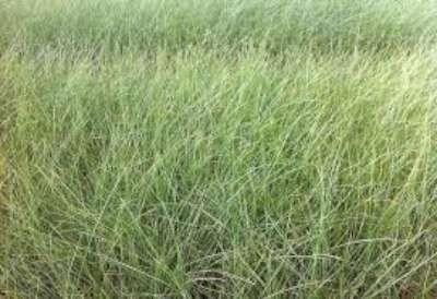 Ammophila arenaria, helmgras