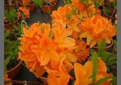 Azalea mollis oranje (zaailing)