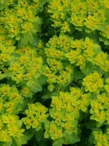 Euphorbia palustris, Wolfsmelk