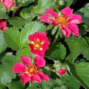 Fragaria 'Red Ruby', Bosaardbei