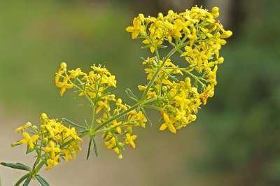 Galium verum, Geel walstro