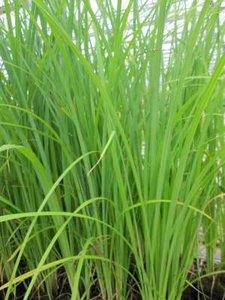 Carex acuta, Zegge