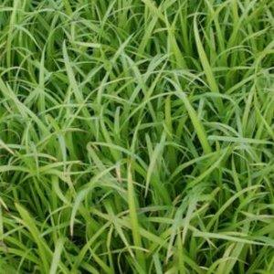 Carex pseudocyperus, Zegge