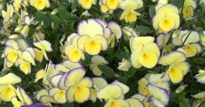 Viola cornuta 'Etain', Viooltje
