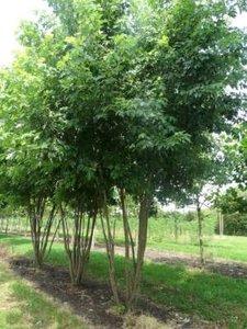 Acer saccharinum meerst., 400/450cm 130L pot, Witte esdoorn