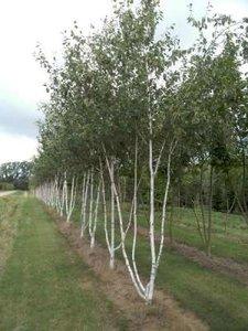 Betula pendula meerst., 200/250cm 25L pot, Witte berk (= Alba/Verrucosa)