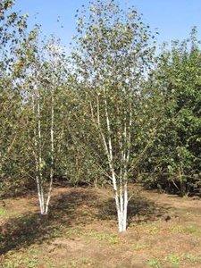 Betula utilis 'Doorenbos' meerst., 300/350 cm 70L pot, Zilverberk