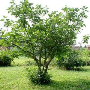 Ficus carica 'Brogiotto Nero' meerst., 250/300 cm 300L pot, vijg